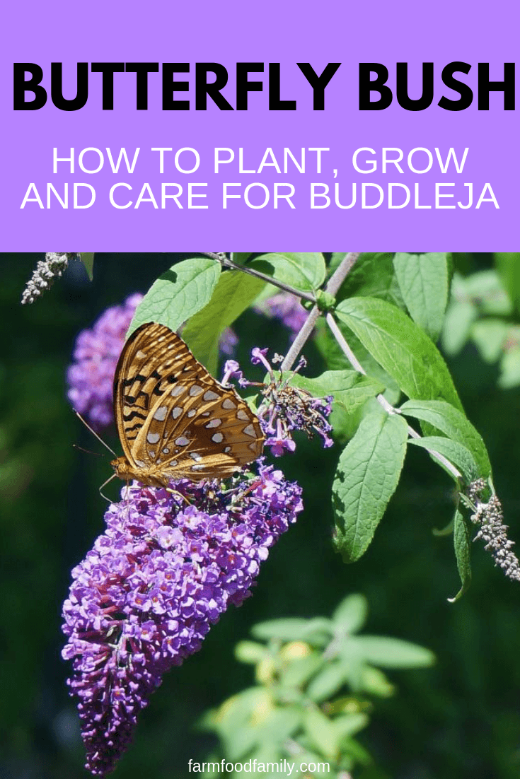 Butterfly Bush – the Centerpiece of the Garden: A Butterfly Garden is Not Complete Without This Flowering Shrub