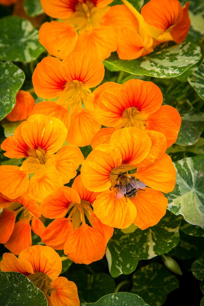 Nasturtium plant - This pretty and delicate looking plant can provide garden protection and chase away the squash bug and whitefly.