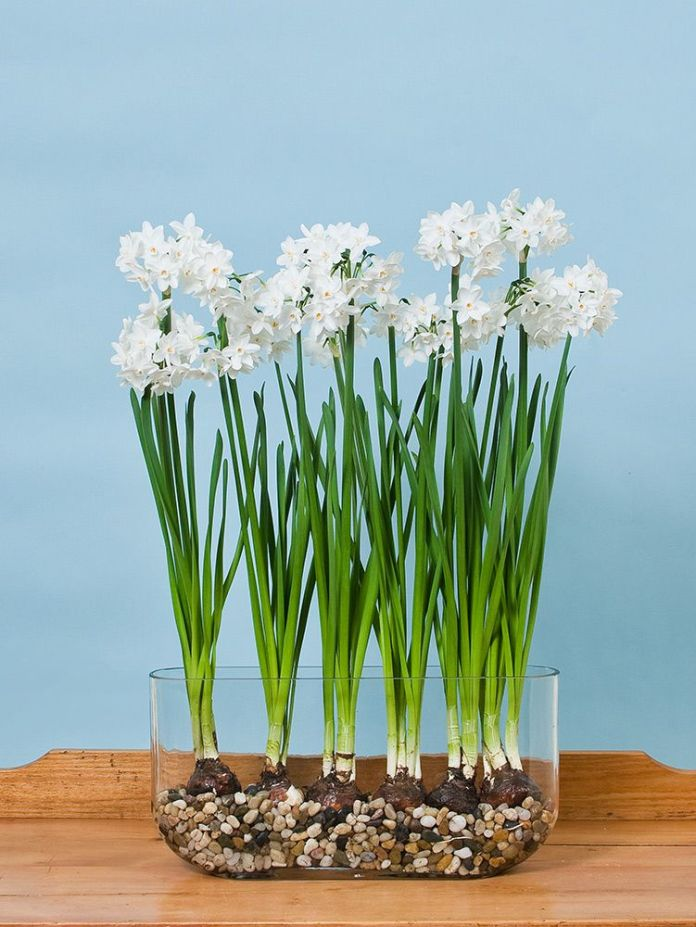 Paperwhites | Winter Flower Garden Indoors: Blooming Plants to Grow In the House during Cold Weather Months | FarmFoodFamily.com
