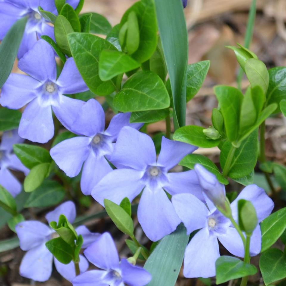 Periwinkle (Vinca major or V. minor): Garden Herbs that Grow in the Shade