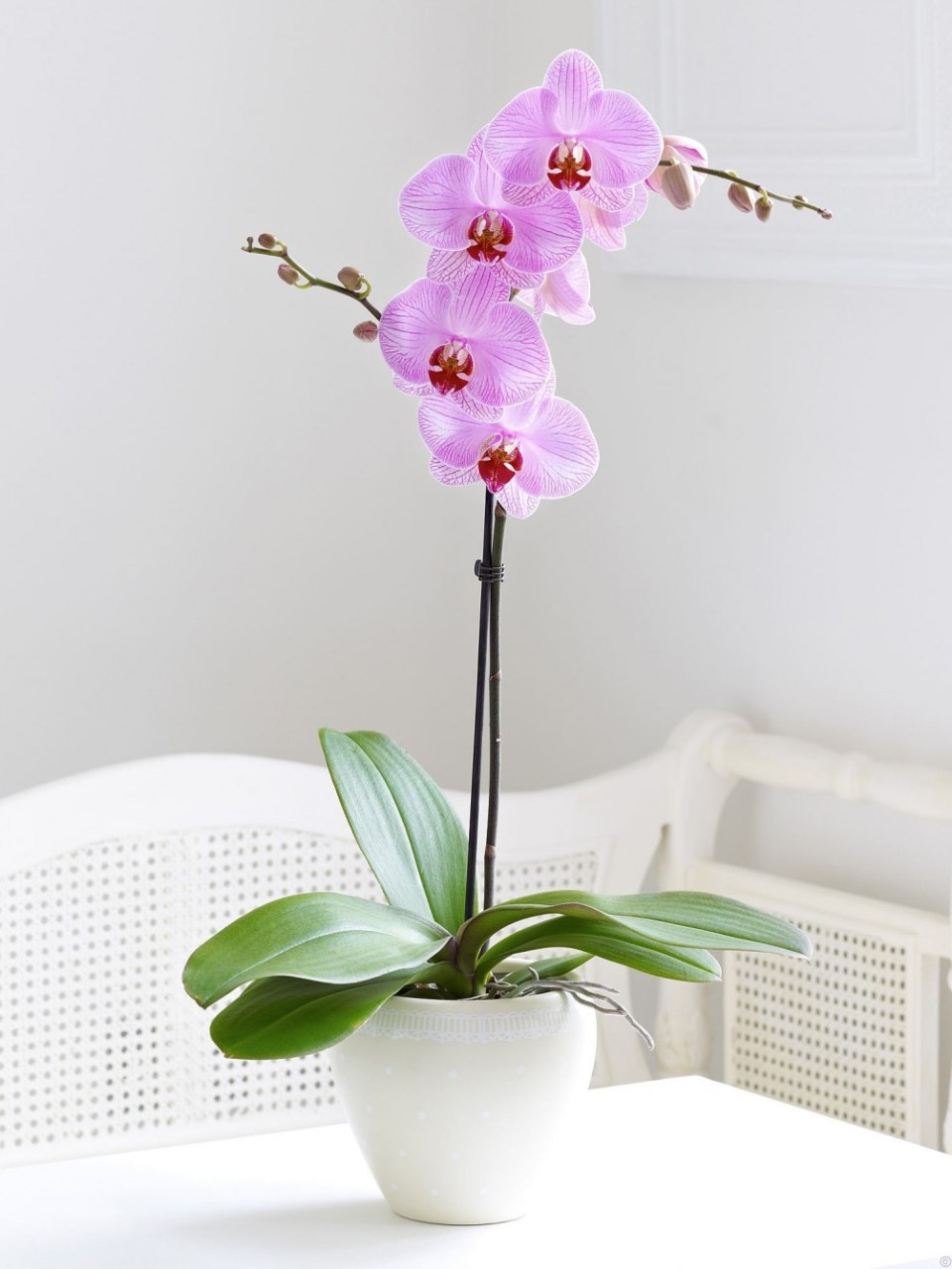 Phalenopsis orchids | Winter Flower Garden Indoors: Blooming Plants to Grow In the House during Cold Weather Months | FarmFoodFamily.com