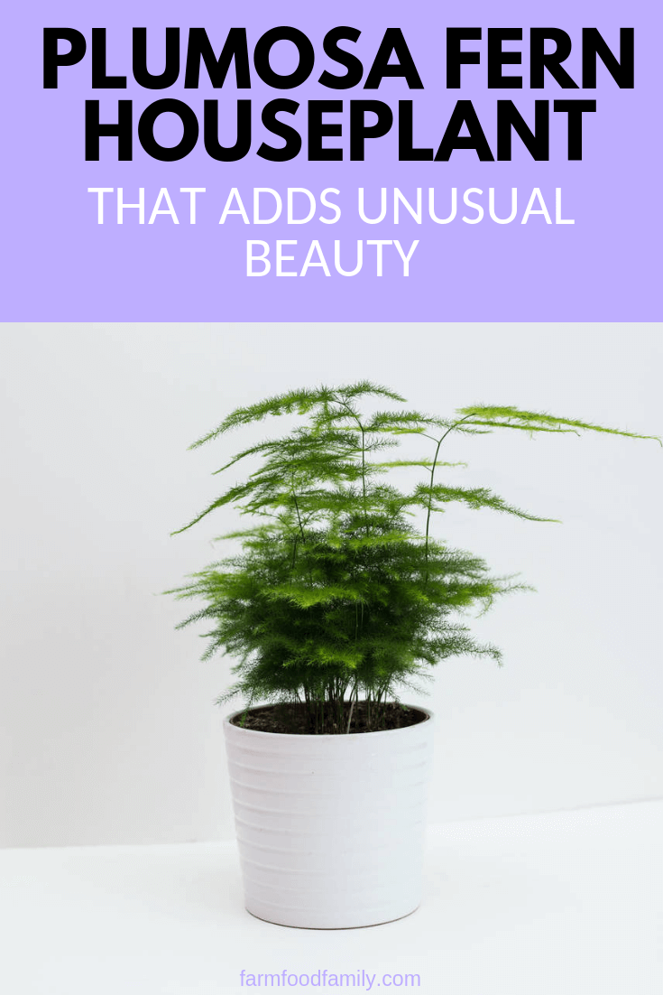 Plumosa fern: a houseplant adds unusual beauty