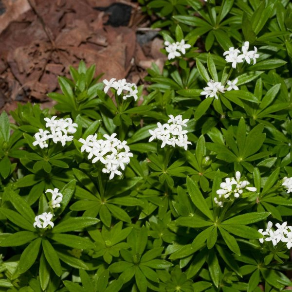 Sweet Woodruff (Galium odoratum): Garden Herbs that Grow in the Shade
