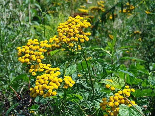 Tansy plant - A feathery, perennial herb, Tansy is also a gangly looking garden plant, but it will keep aphids, ants, and other insects at bay