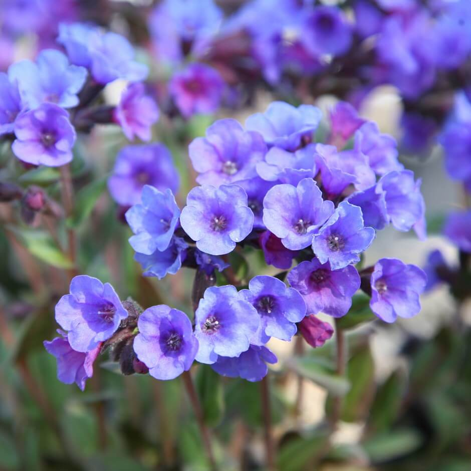 Lungwort (Pulmonaria)   Perennial Flowers All Season: Perennial Garden Design Guide for Blooms in Spring Summer and Fall
