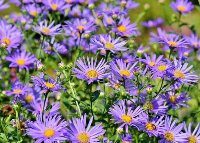 Asters | 10 the best butterfly attracting flowers