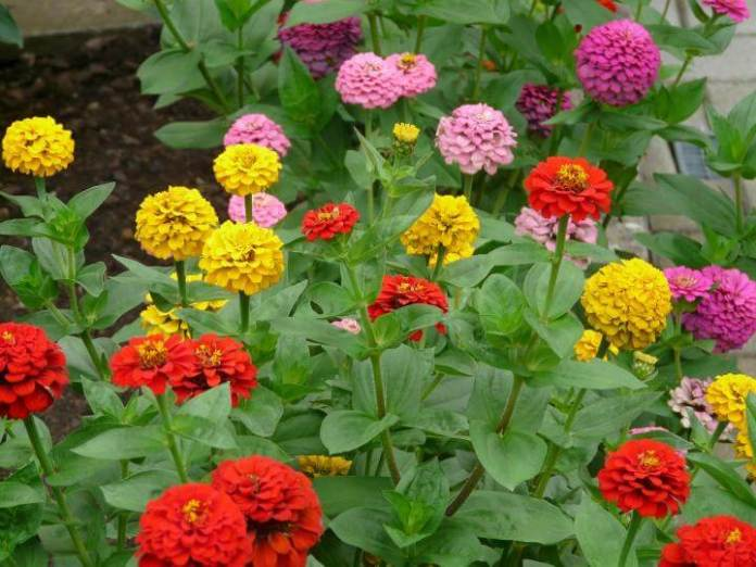 Zinnias | 10 the best butterfly attracting flowers