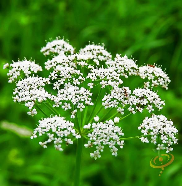 Anise | 10 the best butterfly attracting herbs