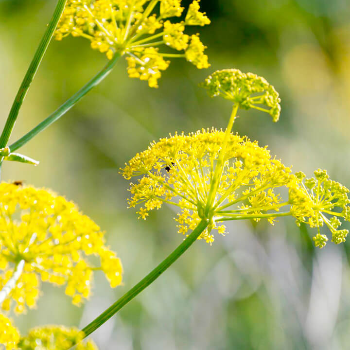 Fennel | 10 the best butterfly attracting herbs