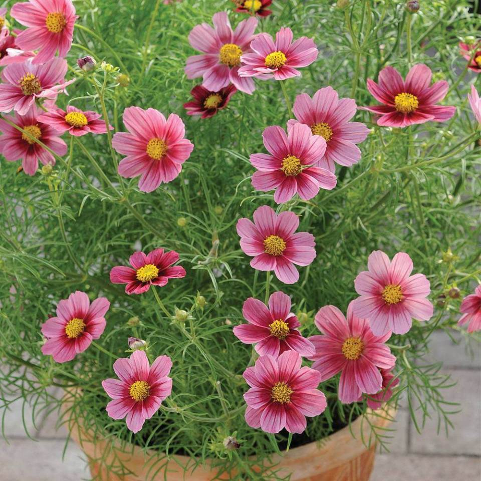 Cosmos | 10 the best butterfly attracting flowers