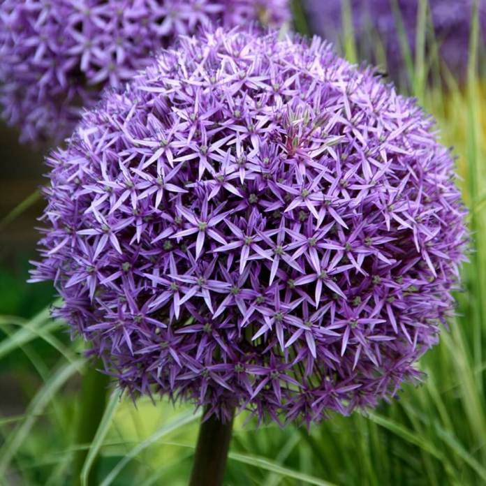 Allium Globemaster | Alliums Deer Resistant Garden Flowers: Drought Tolerant Ornamental Onion Plants Deter Small Rodents