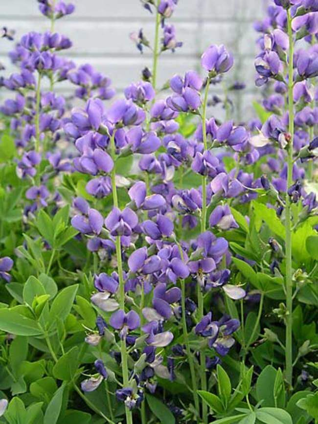 Baptisia | Perennial Flowers All Season: Perennial Garden Design Guide for Blooms in Spring Summer and Fall