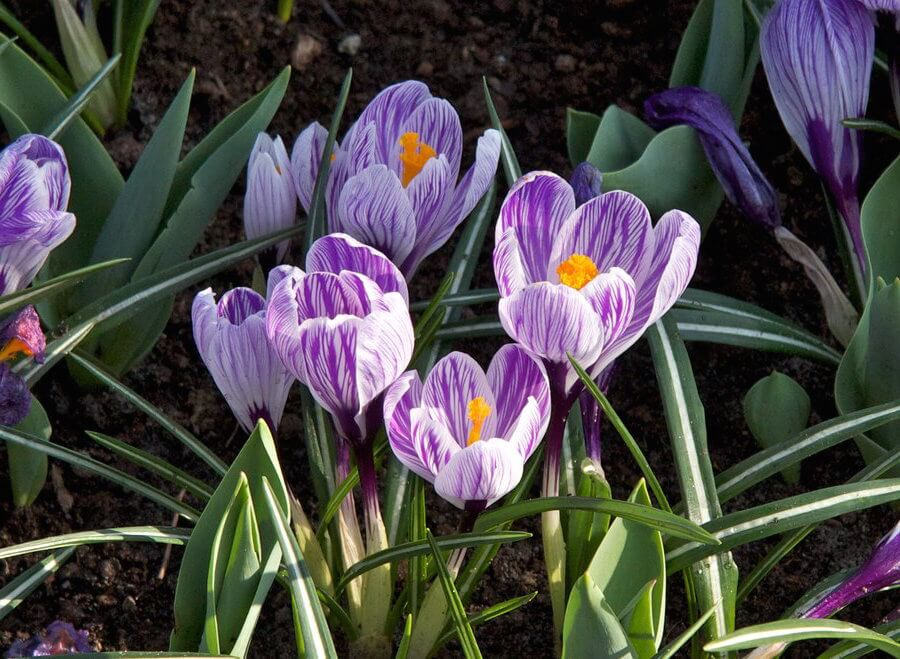 4 best flowering bulbs to force indoors spring farmfoodfamily while these early spring flowering bulbs are smaller than many of the others they make excellent forced bulbs and accent pieces mightylinksfo
