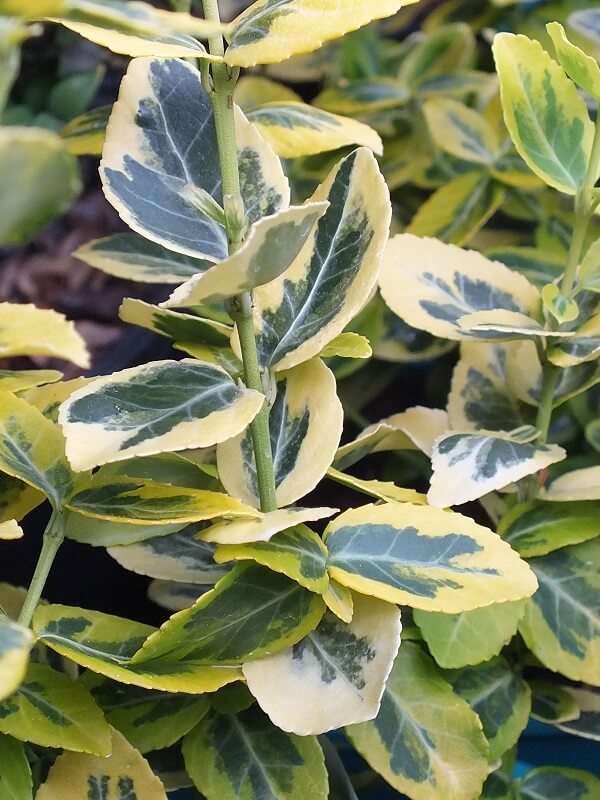 Shrub Euonymus | Home Landscape Design For Winter Gardens