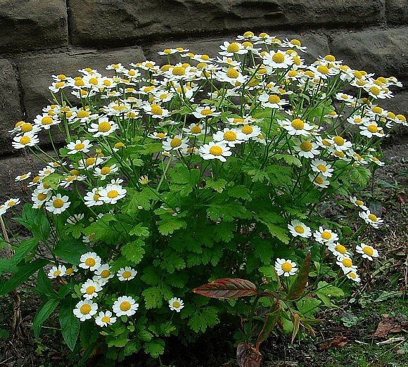 Feverfew (Tanacetum parthrnium) | How to Use Herbs as Edging