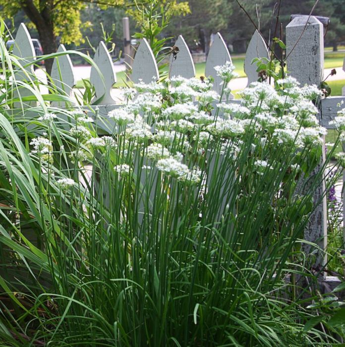 Garlic Chives (Allium tuberosum) | How to Use Herbs as Edging