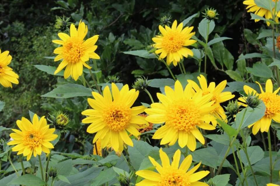 Helianthus | Fall Perennials for a Splendid Array of Flowers