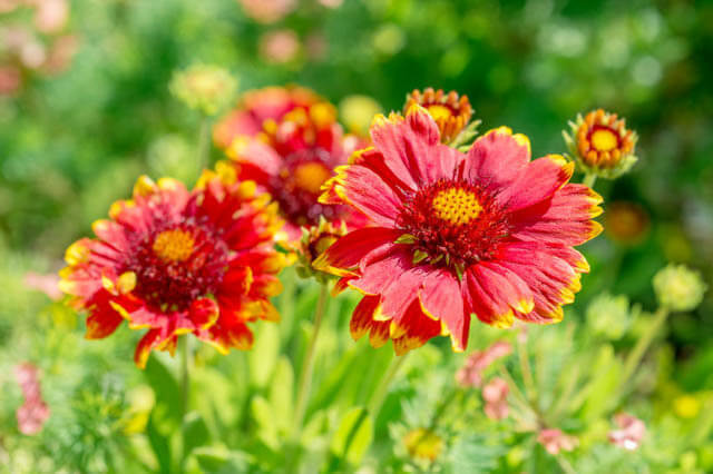 Indian blanket flower (Gaillardia) | Perennial Flowers All Season: Perennial Garden Design Guide for Blooms in Spring Summer and Fall