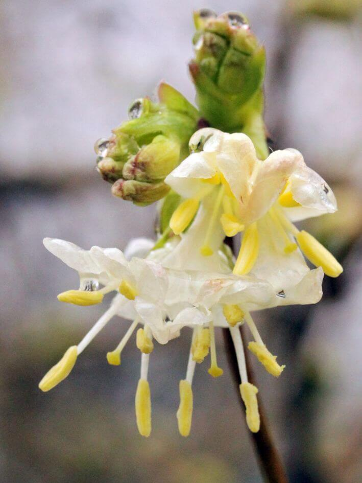 Lonicera x purpusii 'Winter Beauty'(winter honeysuckle) | Flowering Plants to Brighten the Winter Garden: Trees, Shrubs and Perennials with Blooms to Sparkle in Short Days