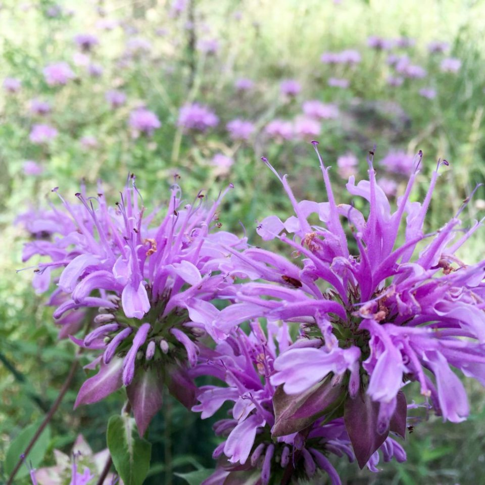 Bee Balm Flowers | Monarda Plant Profile Growing Guide: Planting, Selecting, and Maintaining Bee Balm