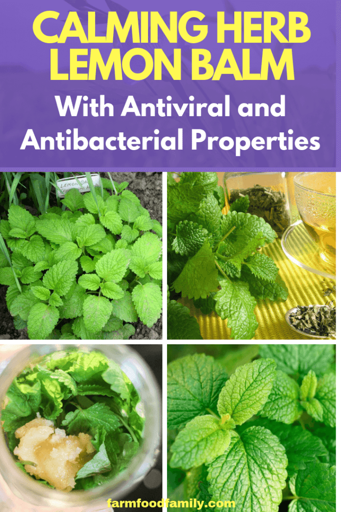 The Calming Herb Lemon Balm With Antiviral and Antibacterial Properties