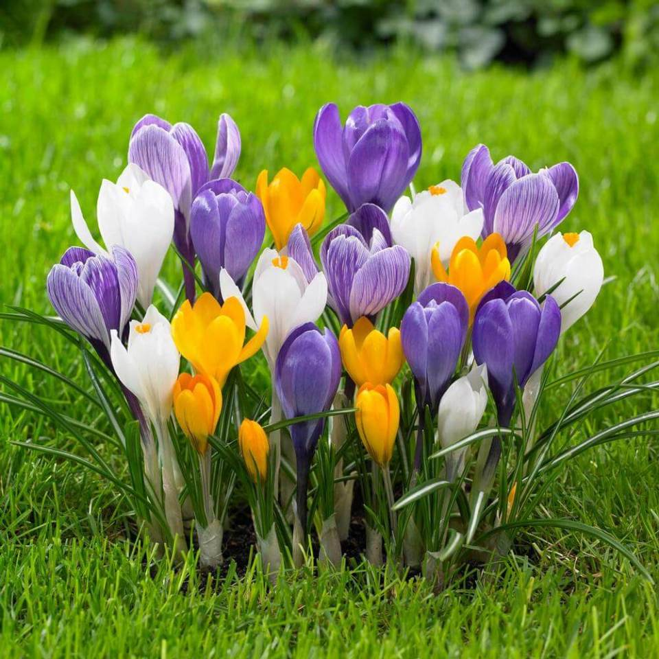 crocus | Perennial Flowers All Season: Perennial Garden Design Guide for Blooms in Spring Summer and Fall
