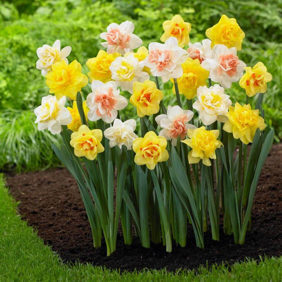 Narcissus | Daffodil Bulb Ideas for Autumn Gardening: Fall Bulb Planting Brings Narcissus Spring Flowers