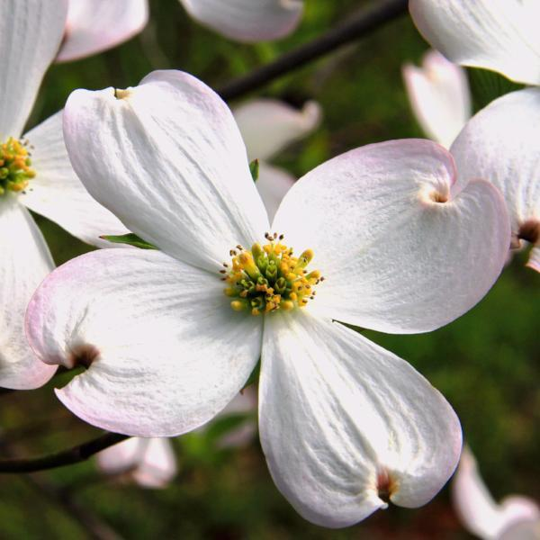 dogwood | Home Landscape Design For Winter Gardens