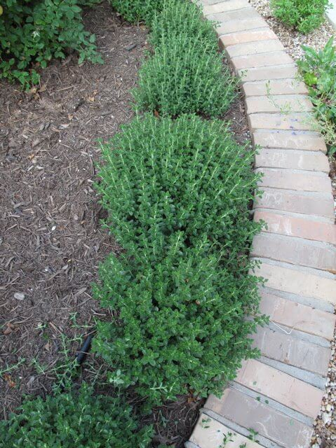 Germander (Teucrium chamaedrys) | How to Use Herbs as Edging