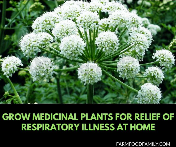 Grow Medicinal Plants for Relief of Respiratory Illness at Home