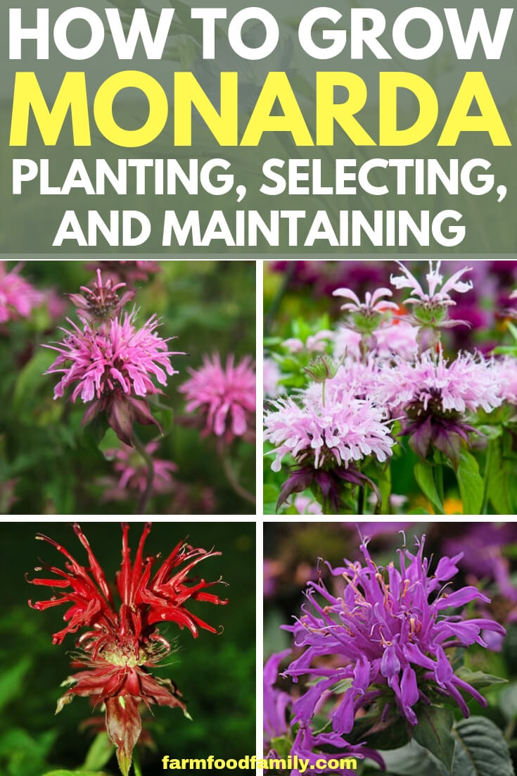 Bee Balm: How to grow and care for Monarda plant