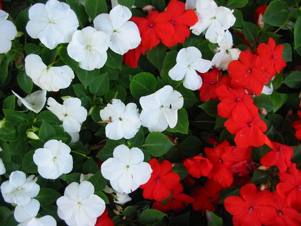 The traditional busy lizzie (Impatiens walleriana)