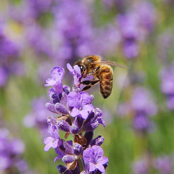Lavender | An Herb Butterfly And Bee Garden: Herb Gardening with a View Toward Attracting Insect Pollinators
