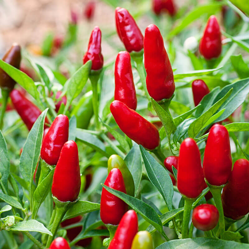 Hot chile peppers   Home Landscape Design For Winter Gardens