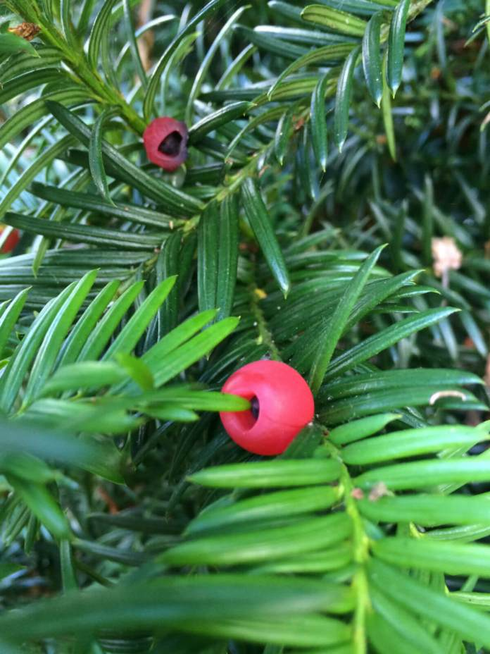 Yew (Taxus)