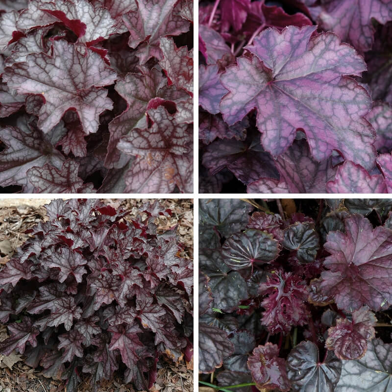 Dolce Blackcurrent Coral Bell (Heuchera hybrid)