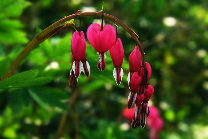 The Bleeding Heart spring care