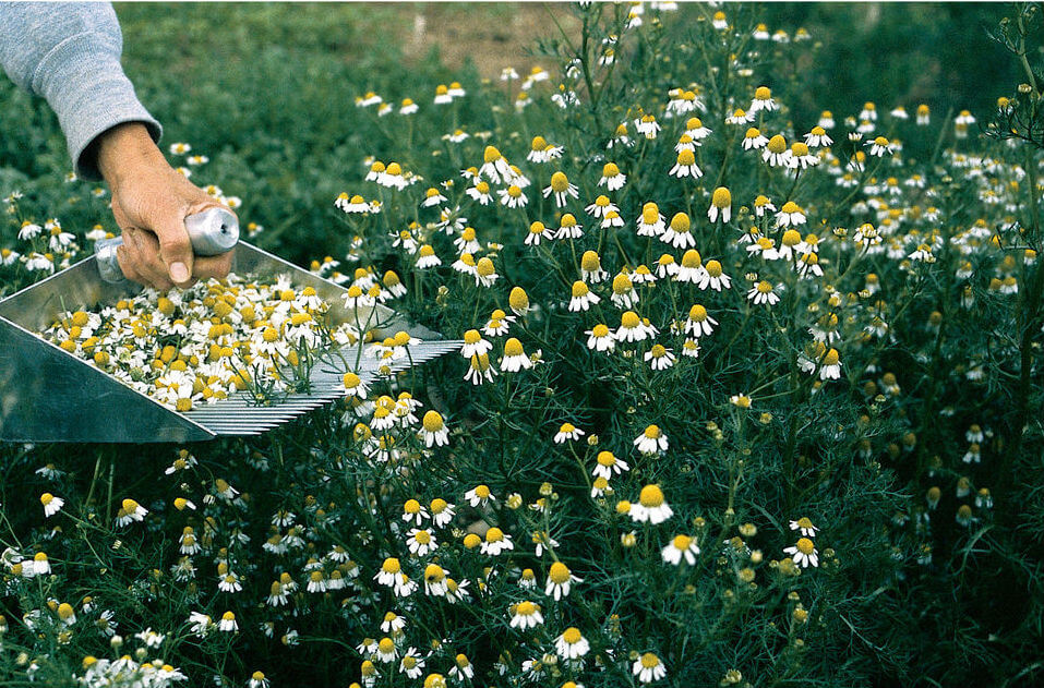 Caring for common chamomile