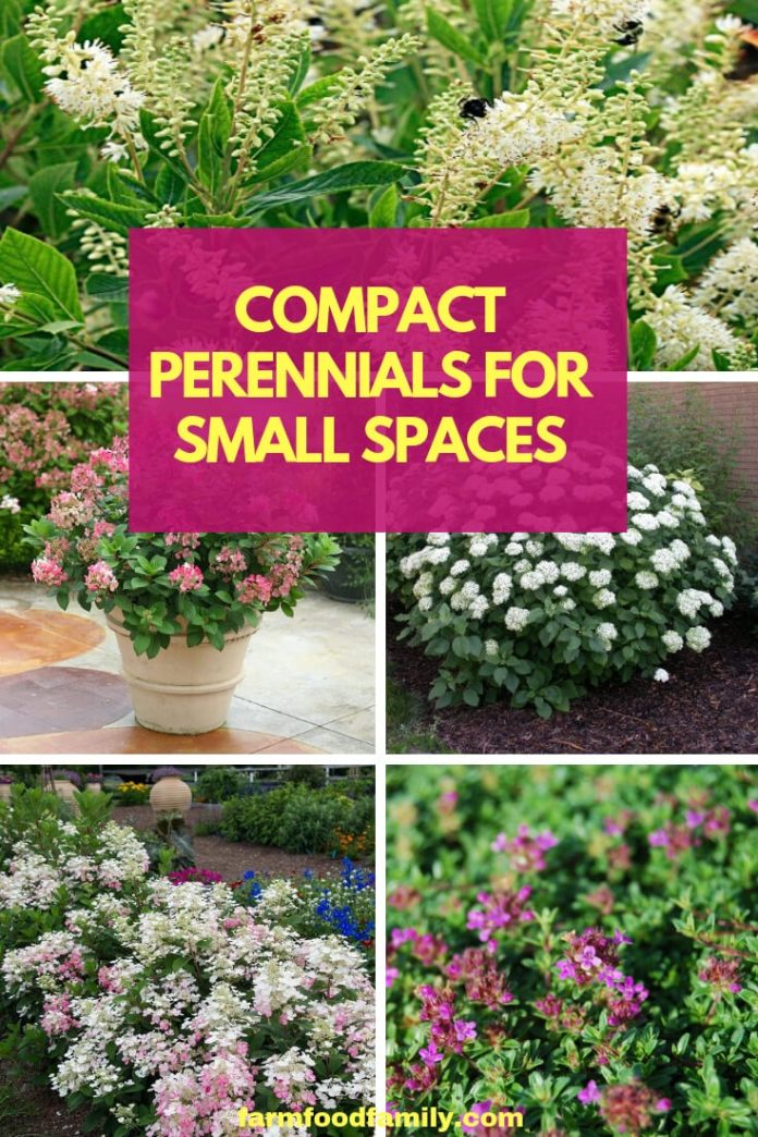 A combination of compact perennial flowers will fit in small spaces like gardens edging a border or petite planting beds. Gardeners can create small sunny borders with shorter plant varieties, dwarf cultivars of long-time favorite perennials.