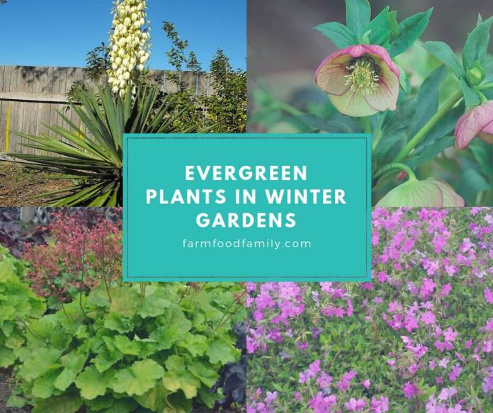 Evergreen Plants in Winter Gardens