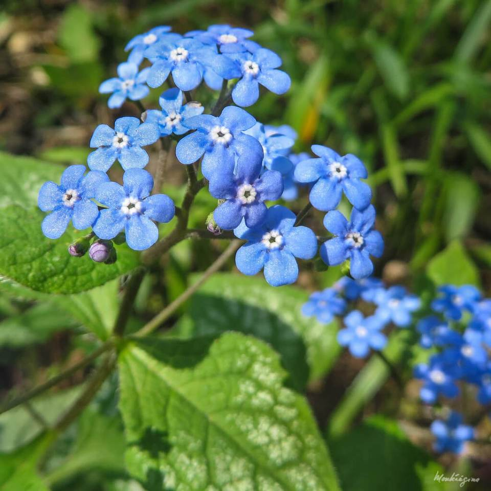 False-Forget-Me-Not (Brunnera macrophylla) For Blue Flowers in the Shade