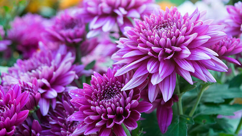 Chrysanthemum Chrysanthemum x grandiflorum