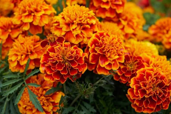 Growing Marigold flowers