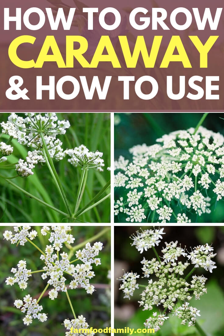Caraway plants: How to grow and how to use in herb garden