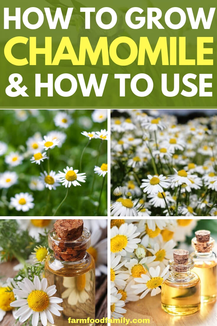 Chamomile Herb plants: How to grow and use Chamomile