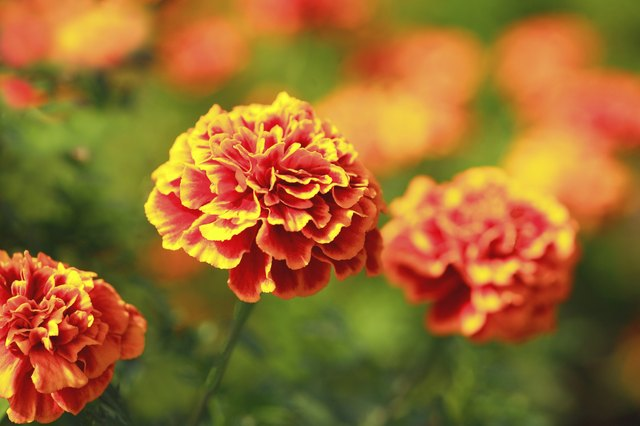 Marigolds blooming