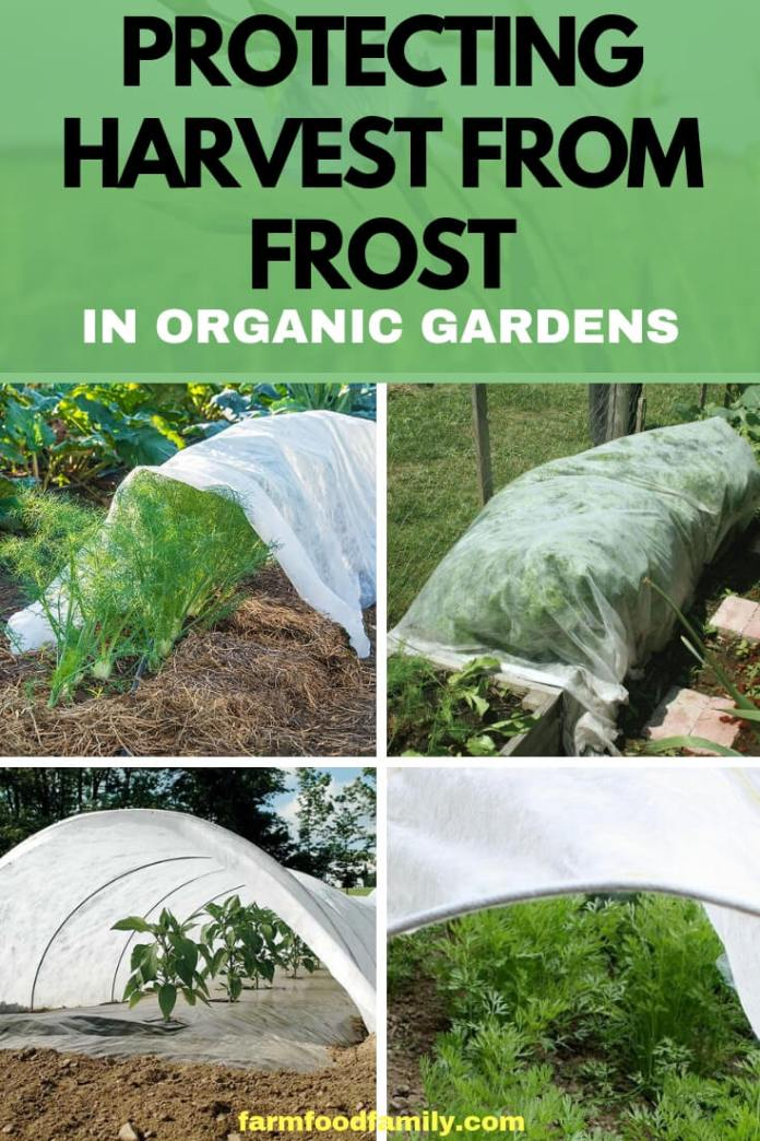 Protecting Harvest from Frost in Organic Gardens