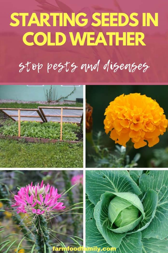 Starting Seeds in Cold Weather Stops Pests and Diseases