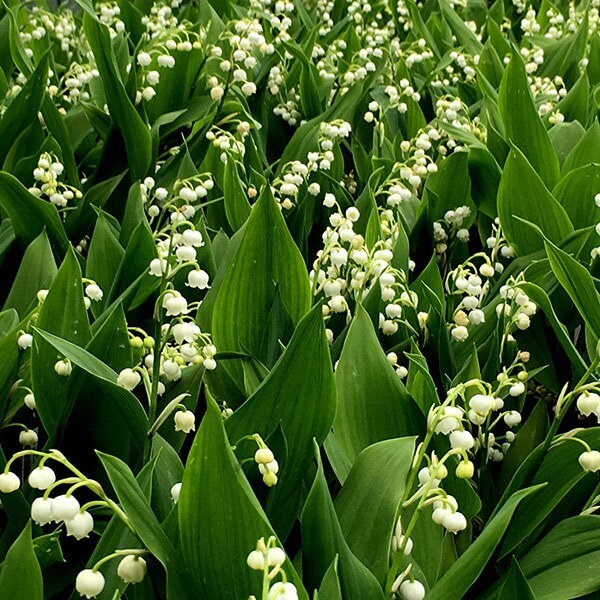 Lily of the Valley Toxicity in Dogs and Cats