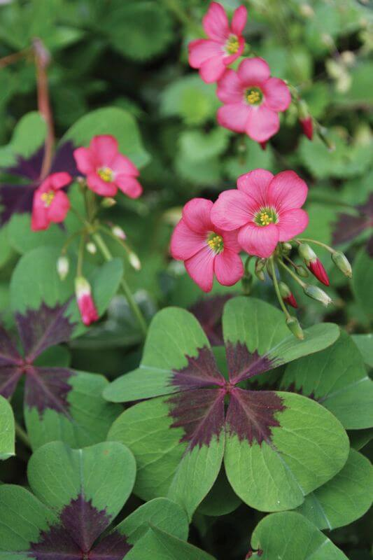 Oxalis Deppei (Iron Cross)